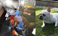 ปิ้งรักปลาคาร์ฟ! เฟรนช์ บูลด็อกวนเวียนบ่อปลา จูบทักทายเพื่อนใต้น้ำ (มีคลิป)