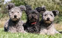 10 สายพันธุ์น้องหมาหน้าแปลก ไม่ฮิตเลี้ยงแต่ราคาแพงเวอร์!