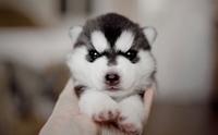 4 พันธุ์สุนัขที่ดูเหมือนจะแข็งแรง แต่มีโรคประจำพันธุ์เยอะไม่ใช่เล่น!
