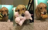 ชวนยิ้ม! เจ้า Mojito สุนัขบำบัดติดของเล่น ต้องคาบขึ้นบันไดให้เจ้าของก่อนนอนทุกคืน