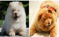 รวมภาพ เชาเชา น้องหมาขนฟู