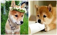 ภาพความน่ารักมุ้งมิ้งของน้องหมา ชิบะ อินุ