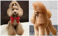 รวมภาพ ทรงขนแบ๊วๆ น่ารักๆ ของน้องหมาพุดเดิ้ลญี่ปุ่น