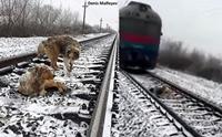 เผยนาทีสุนัขใช้ร่างปกป้องเพื่อนบาดเจ็บบนรางรถไฟ รอดตายหวุดหวิด !!