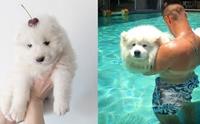 20 ภาพดูเพลินๆ ความมุ้งมิ้งของน้องหมาซามอยด์ขนฟูน่ากอด !!