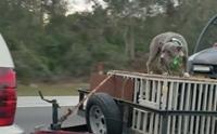 ชาวเน็ตจวกยับ! เจ้าของใช้โซ่ล่ามสุนัขไว้กับท้ายรถพ่วงกระบะ