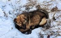 ตูบจรจัดถูกรถชนกระดูกหัก นอนหนาวบนหิมะรอคนมาช่วยกว่า 12 ชม.