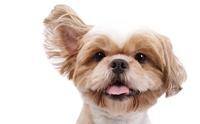 ความแตกต่างของใบหูน้องหมา ที่หลายคนไม่เคยรู้มาก่อน