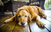 แบบนี้ก็มีด้วย ... โรคอัมพาตใบหน้าเกิดขึ้นกับน้องหมาได้ ?