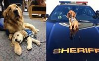 10+ ภาพลูกสุนัข Service Dog กับการทำงานวันแรก ใครเห็นก็ต้องยิ้ม !!