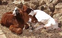 เมื่อลูกวัวตัวน้อยคิดว่า ตัวเองเป็นสุนัข ทำตัวกลมกลืนจนใครเห็นก็หลงรัก !!