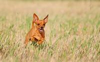 5 น้องหมาพันธุ์ขนสั้นที่ได้รับความนิยมเลี้ยงในเมืองใทย