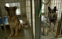 จนท.บุกช่วย 12 สุนัขเยอรมันเชฟเฟิร์ดจากโรงงานผลิตลูกสุนัข !!