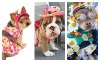 แฟชั่นดอกไม้ฟรุ้งฟริ้ง ของเหล่าน้องหมาในวันสงกรานต์