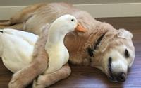 เมื่อน้องหมาโกลเด้นฯ มีเป็ดเป็นเพื่อนซี้ความน่ารักก็เลยเกิดขึ้น !!