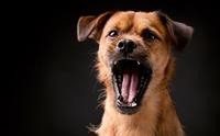 สงสัยไหม เสียงเห่าของน้องหมาแต่ละภาษาเป็นอย่างไร