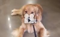 เมื่อน้องหมาโกลเด้นฯ ชอบร้านขายของสำหรับสัตว์เลี้ยงแบบสุดๆ