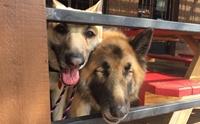 เพื่อนแท้! สุนัขแสนรู้คอยดูแลเพื่อนตูบตาบอด ไปที่ไหนต้องไปด้วยกันเสมอ