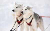 4 สายพันธุ์น้องหมาแห่งอลาสก้า กับภารกิจช่วยเหลือชีวิตมนุษย์