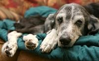 4 สัญญาณบ่งบอกว่า น้องหมากำลังเป็นโรคข้อสะโพกเสื่อม