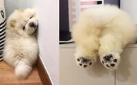 หมาหรือตุ๊กตาหมี! เจ้า Puffie ลูกหมาน่ารักที่ขโมยหัวใจผู้คนทั่วโลก
