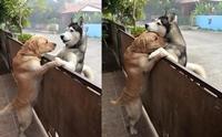 2 น้องหมาไทยดังไกลทั่วโลก ! หลังตัวหนึ่งชอบหนีออกจากบ้านไปกอดสุนัขเพื่อนบ้าน