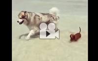 ความแตกต่างของตัวเตี้ยกับน้องหมาตัวโต เมื่อต้องเล่นน้ำทะเล !!