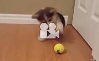 คอร์กี้น้อยน่ารักหยอกล้อเล่นกับลูกเทนนิส !