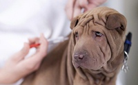 อัปเดต!! สิ่งที่ต้องรู้เกี่ยวกับการฉีดวัคซีนของสุนัขในปัจจุบัน (พ.ศ.2560)