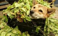 รู้จัก! เจ้า Peko สุนัขผู้หลงรักใบไม้ที่กำลังโด่งดังในญี่ปุ่น