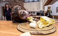 รวมเทคนิค ดัดนิสัยน้องหมาจอมตะกละขี้ขโมยอาหาร