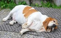 จัดอันดับ 5 พฤติกรรมที่มักพบได้ในหมาอ้วน !