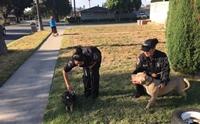 ตำรวจวุ่นตามจับคู่หูพิทบูลฯกับหมูน้อย หลังแอบหนีมาวิ่งเล่นสนุกสนาน !