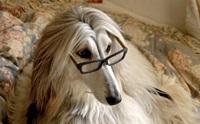 รวมภาพน้องหมาอัฟกัน ฮาวนด์ หน้าแปลกแต่แพง เลอค่า!!