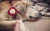เศร้า! Smiley สุนัขบำบัดตาบอดที่ทำหน้าที่กว่า 12 ปีเสียชีวิตแล้ว
