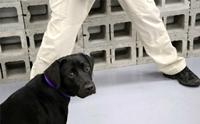 เจ้า Lulu สุนัขสอบตกหลักสูตรดมกลิ่นวัตถุระเบิดของ CIA