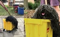 เนียนสุด! น้องหมาจัดเต็มวันฮาโลวีน ปลอมตัวเป็นไม้ถูกพื้น