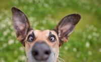 จัดอันดับ 5 นิสัยจอมเผือกของน้องหมา