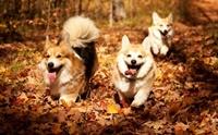 รวมภาพน่ารักเมื่อน้องหมาเล่นใบไม้แดง
