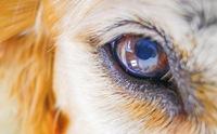 น้ำตาน้องหมา บอกปัญหาสุขภาพอะไรบ้าง?