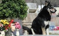 เศร้า! แคปปิตัน สุนัขผู้เฝ้าหลุมศพเจ้าของนาน 11 ปี ตายลงแล้ว
