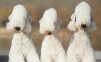 10 สุนัขพันธุ์เล็กหายาก (สุดแปลก) ที่อาจไม่เคยได้ยินชื่อมาก่อน