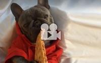 มาดูปฏิกิริยาเมื่อหมาเฟรนช์ฯ ได้กลิ่นพิซซ่าขณะหลับ !