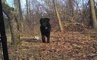 ลาบราดอร์ตัวนี้หลุดจากคลินิกสัตว์ ก่อนพบใช้ชีวิตลำพังในป่าตลอด 1 ปี !
