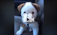 น้องหมาตัวน้อยตกใจอาการสะอึกของตัวเอง !