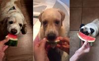 ส่องเทรนด์ฮิต! เจ้าของทั่วโลกพร้อมใจถ่ายคลิปน้องหมาสุดรักกินแตงโม