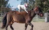 ชวนดู! เจ้า Dally น้องหมาตัวเดียวในโลกที่สามารถขี่ม้าได้