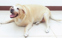 หมาอ้วน...เป็นอะไรได้มากกว่าโรคอ้วน ?