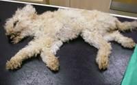สาวปล่อย 2 สุนัขอดตายจนร่างเน่าหนอนชอนไช ถูกจับได้บอกหมาปกติดี!