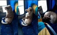 คลิปเจ้าตูบจรจัดแสนรู้นั่งรถโดยสาร คนขับบอกเห็นนอนสบายไม่กล้าปลุก!
